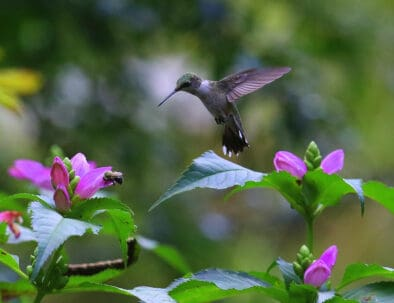 The Land Between The Lakes Wildlife Viewing Hummingbird