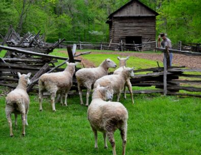 Land Between The Lakes The Homeplace 1850s Working Farm Sheep