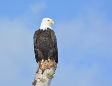 The Land Between The Lakes Wildlife Viewing Bald Eagle