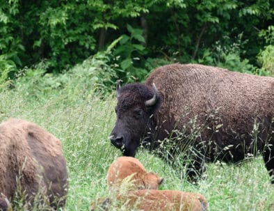 Elk and Bison Prairie