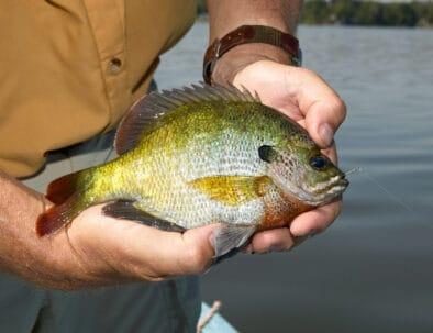 Lake Barkley Kentucky Lake Fishing Bluegill